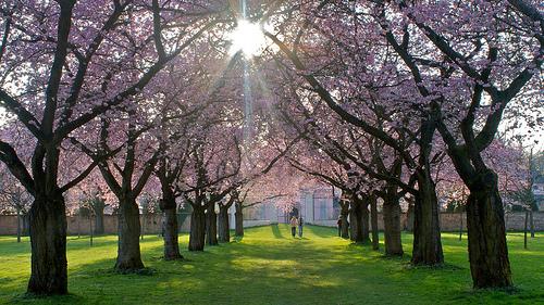 La fiesta primaveral japonesa : El «Hanami»
