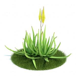 Aloe vera, mundialmente conocido por sus usos